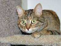 Torbie - Esmeralda - Medium - Young - Female - Cat