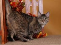 Torbie - Hilliary - Large - Adult - Female - Cat