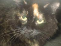 Torbie - Hilliary - Medium - Adult - Female - Cat