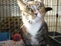 Torbie - Juanita - Small - Young - Female - Cat All