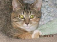 Torbie - Kringle - Medium - Baby - Female - Cat Kringle