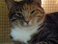 Torbie - Little Debbie - Medium - Adult - Female - Cat