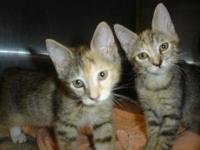 Torbie - Nila - Small - Young - Female - Cat NILA is a