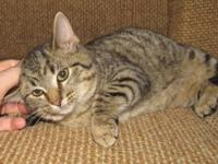 Torbie - Piper - Large - Young - Female - Cat Piper -