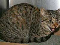 Torbie - Raquel - Small - Baby - Female - Cat Raquel is
