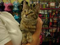 Torbie - Sissy - Medium - Baby - Female - Cat Sissy is