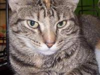 Torbie - Diamond - Medium - Adult - Female - Cat I am a