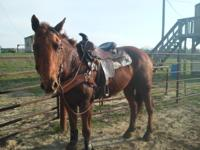 Torchie Peopnita Son(Chester) This gelding is very