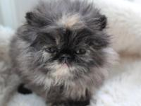 Ted E. Bear Persians has offered a cute tort female