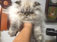 Hirscheez has a beautiful tortie Lynx pt. himalayan