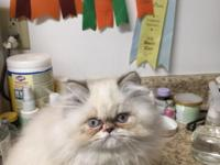 This lovely himalayan kitty is a sweetie. She have