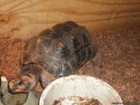 Cherry headed red footed tortise for sale.  Loves