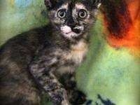 Tortoiseshell - Abigail - Small - Baby - Female - Cat