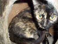 Tortoiseshell - Aggey - Small - Adult - Female - Cat