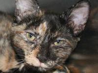 Tortoiseshell - Ava - Medium - Young - Female - Cat We
