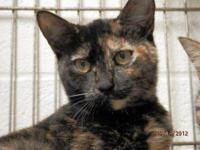 Tortoiseshell - Bailey - Medium - Baby - Female - Cat