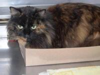 Tortoiseshell - Betty - Medium - Adult - Female - Cat