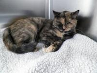 Tortoiseshell - Cairo - Medium - Adult - Female - Cat