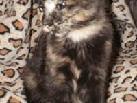 Tortoiseshell - Caitlyn - Medium - Baby - Female - Cat