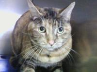 Tortoiseshell - Cali Girl - Small - Adult - Female -