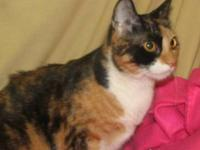 Tortoiseshell - Callie - Large - Senior - Female - Cat