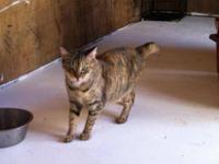 Tortoiseshell - Callie - Medium - Young - Female - Cat