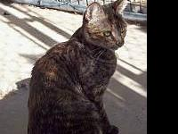 Tortoiseshell - Carrie - Large - Young - Female - Cat