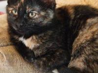 Tortoiseshell - China - Medium - Young - Female - Cat