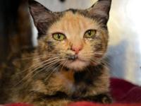 Tortoiseshell - Elaine~gentle And Sweet!! - Medium -