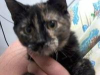 Tortoiseshell - Fiona - Medium - Baby - Female - Cat