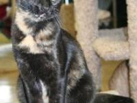 Tortoiseshell - Frannie - Medium - Baby - Female - Cat