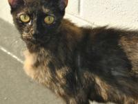 Tortoiseshell - Gracie Ann - Medium - Young - Female -