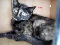 Tortoiseshell - Halley - Medium - Young - Female - Cat