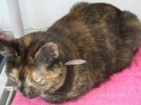 Tortoiseshell - Henrietta - Small - Adult - Female -