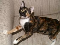 Tortoiseshell - Honey - Medium - Adult - Female - Cat