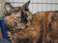 Tortoiseshell - Jewel - Medium - Adult - Female - Cat