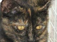 Tortoiseshell - Jo - Medium - Baby - Female - Cat Jo is