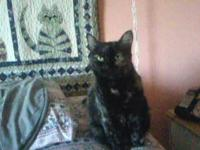 Tortoiseshell - Katie - Medium - Adult - Female - Cat