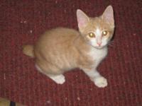 Tortoiseshell - Kittens - Small - Young - Male - Cat