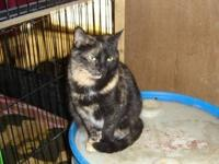 Tortoiseshell - Lizzie - Small - Baby - Female - Cat