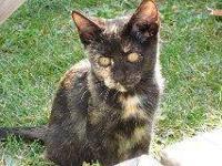 Tortoiseshell - Lizzie - Small - Baby - Female - Cat