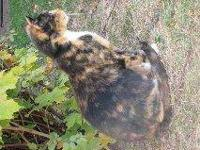 Tortoiseshell - Lizzie - Small - Young - Female - Cat