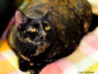 Tortoiseshell - Lovey - Small - Adult - Female - Cat
