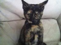 Tortoiseshell - Lulu - Medium - Baby - Female - Cat