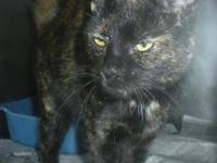 Tortoiseshell - Luna - Medium - Adult - Female - Cat