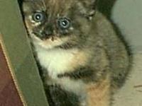 Tortoiseshell - Mira - Medium - Baby - Female - Cat
