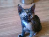Tortoiseshell - Munchie - Medium - Baby - Female - Cat