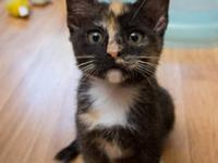 Tortoiseshell - Nellie - Medium - Baby - Female - Cat