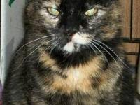 Tortoiseshell - Paisley - Large - Adult - Female - Cat