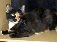 Tortoiseshell - Piper - Small - Adult - Female - Cat